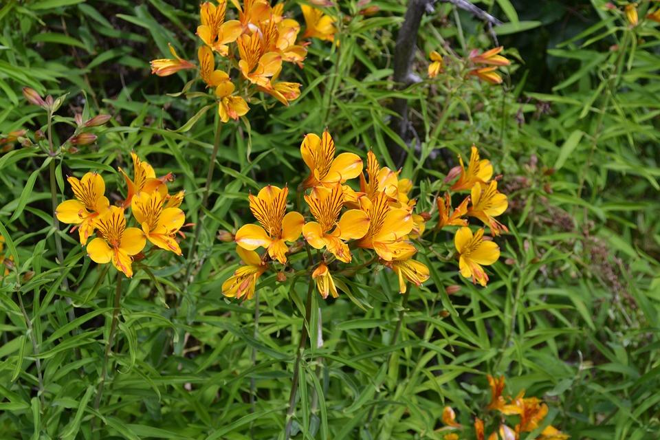 Patagonian Alstromeria, Amancay, Flowers