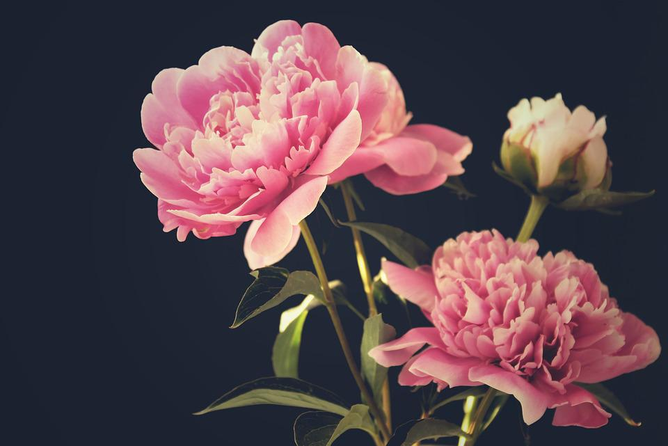 Peony, Peony Bouquet, Flowers, Black Background, Noble