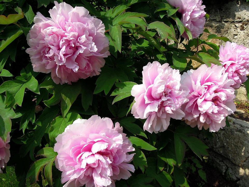 Peony, Peónia, Pink Flower, Pink, Flowers