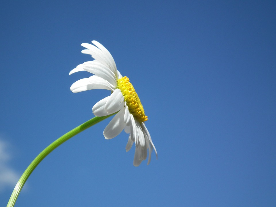Flower, Daisy, White, Flowers, Day, Sky, Blue, Petal