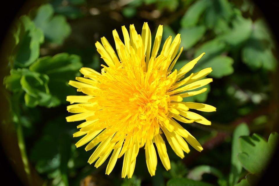 Dandelion, Flowers, Yellow, Golden, Petals, Blossoms