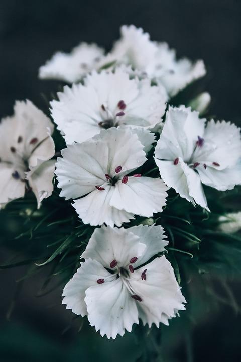 Clove, Flower, Petals, Flowers, Nature, White