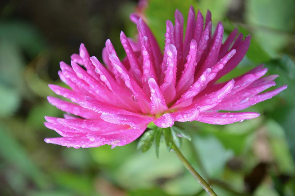 Flowers, Pink Flower, Petals, Nature Garden, Plant