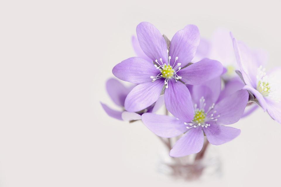 Flowers, Tender, Petals, Hepatica, Purple