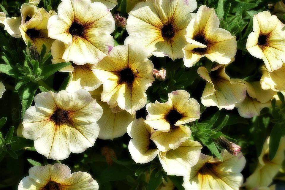 Petunia, Surfinien, Flowers, Balcony Plant