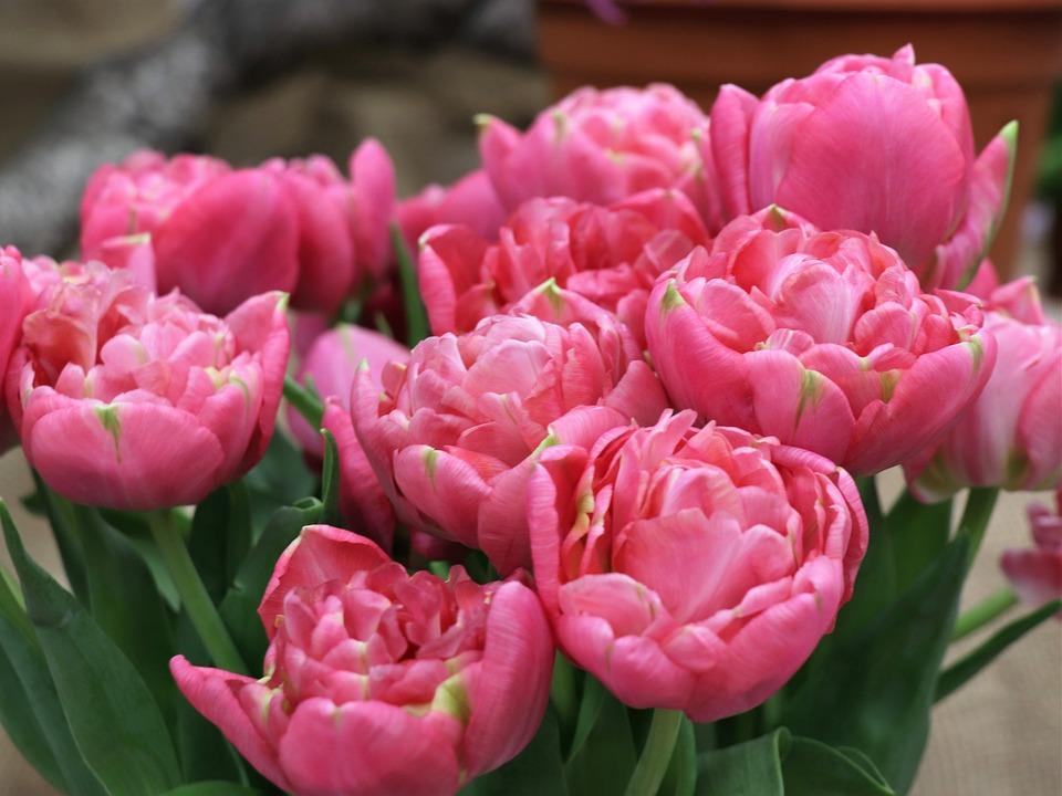 Tulips, Tulip, Flowers, Flower, Spring, Pink, Garden