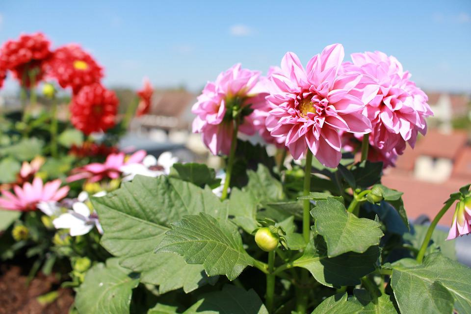 Flowers, Spring, Dahlia, Pink Flowers, Red Flowers