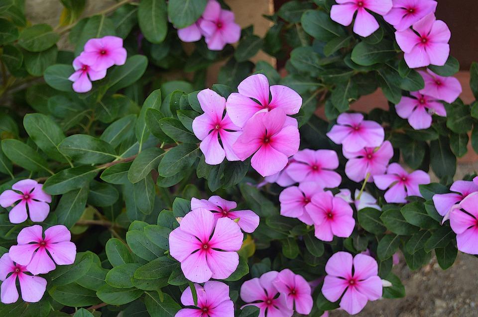 Free photo flowers pink flowers fall flowers rosa garden max pixel pink flowers fall flowers garden flowers rosa mightylinksfo
