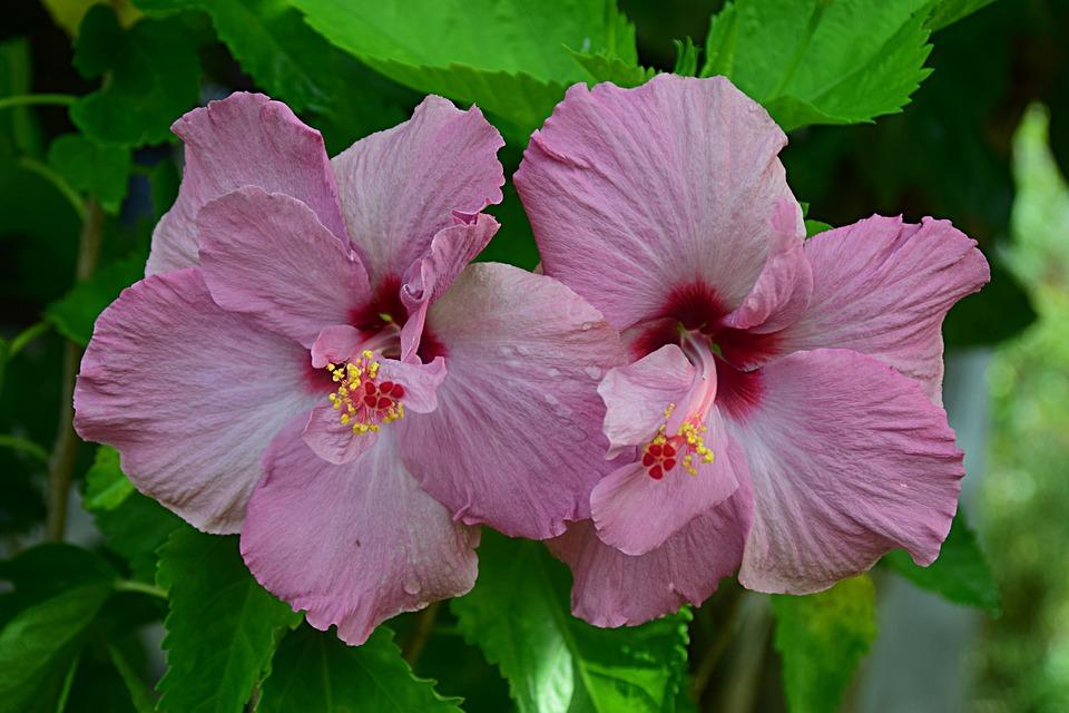 Hibiscus, Flowers, Garden, Pink Flowers, Petals