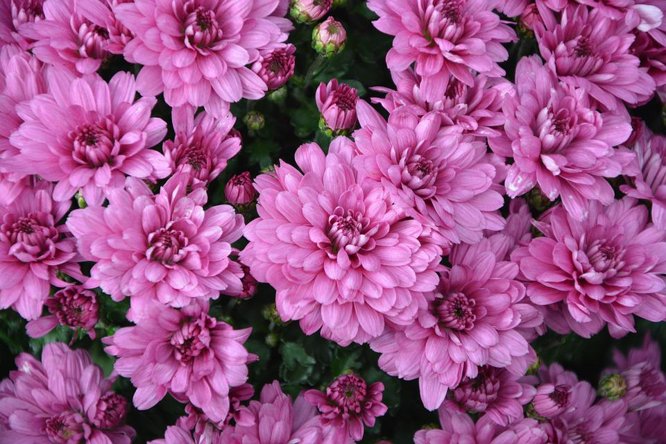 Free photo flowers pink flowers purple flowers pink color max pixel flowers flowers pink color purple pink flowers mightylinksfo