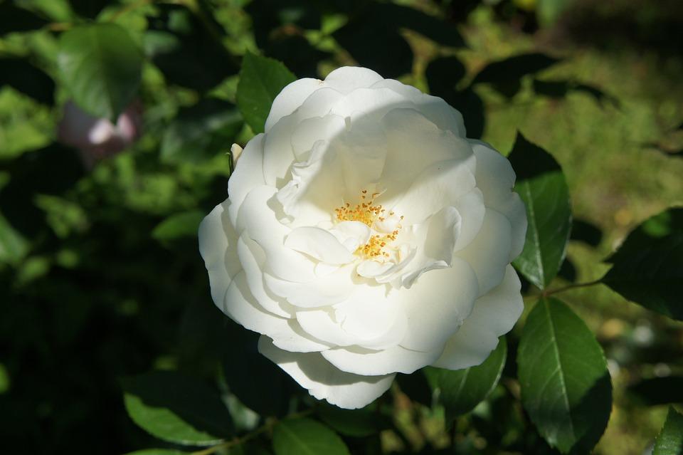 Pink, White, Garden, Flower, Spring, Flowers, Nature
