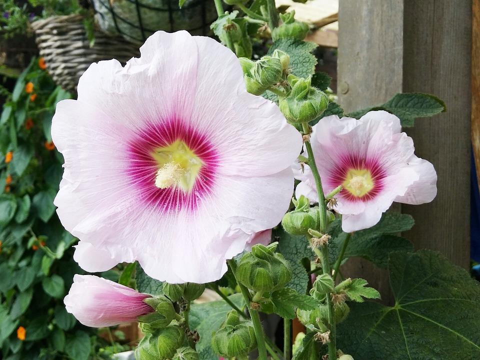 Hibiscus, Flower, Flowers, Garden, Pink, Bloom, Nature