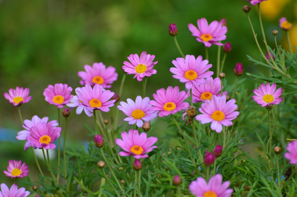 Cosmos, Pink, Flowers, Nature, Bloom, Cosmea, Summer