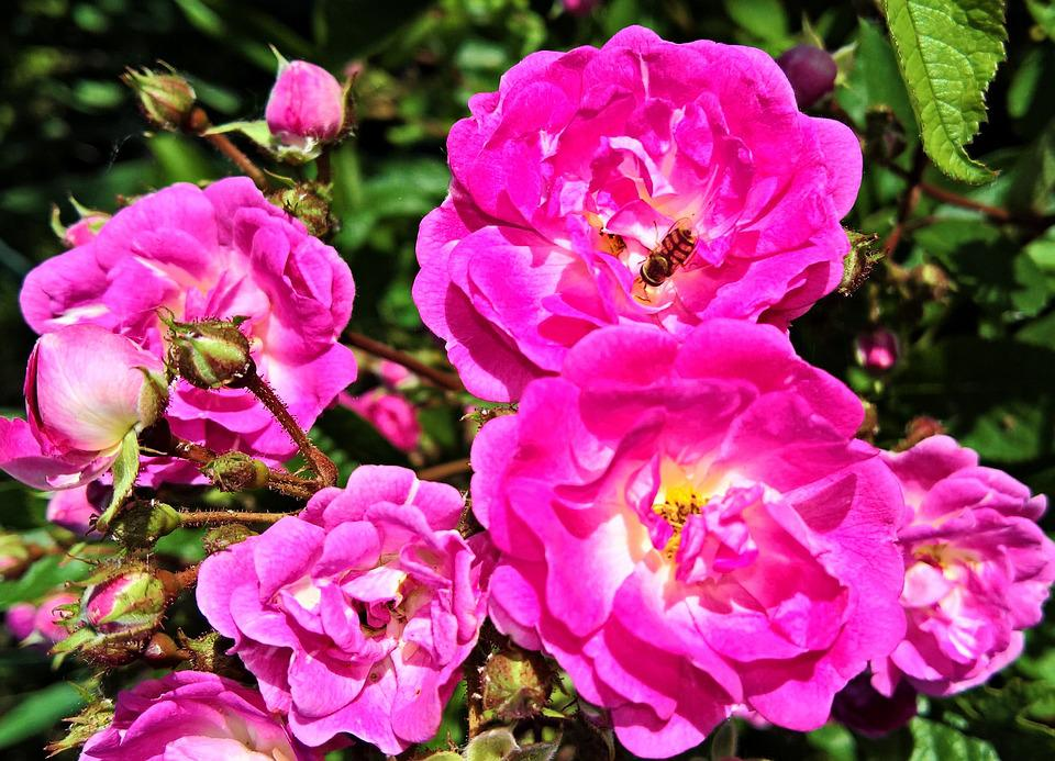 Free photo flowers pink ragusa roses wild rose pink flowers max pixel flowers roses wild rose pink ragusa pink flowers mightylinksfo