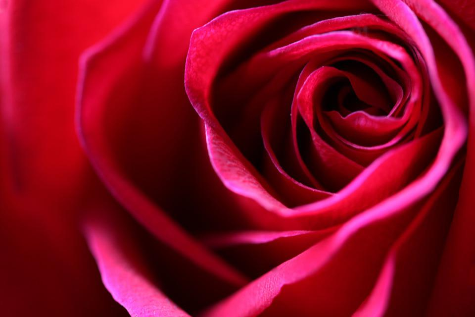 Rose, Fragrance, Blossom, Flowers, Romantic, Pink, Love