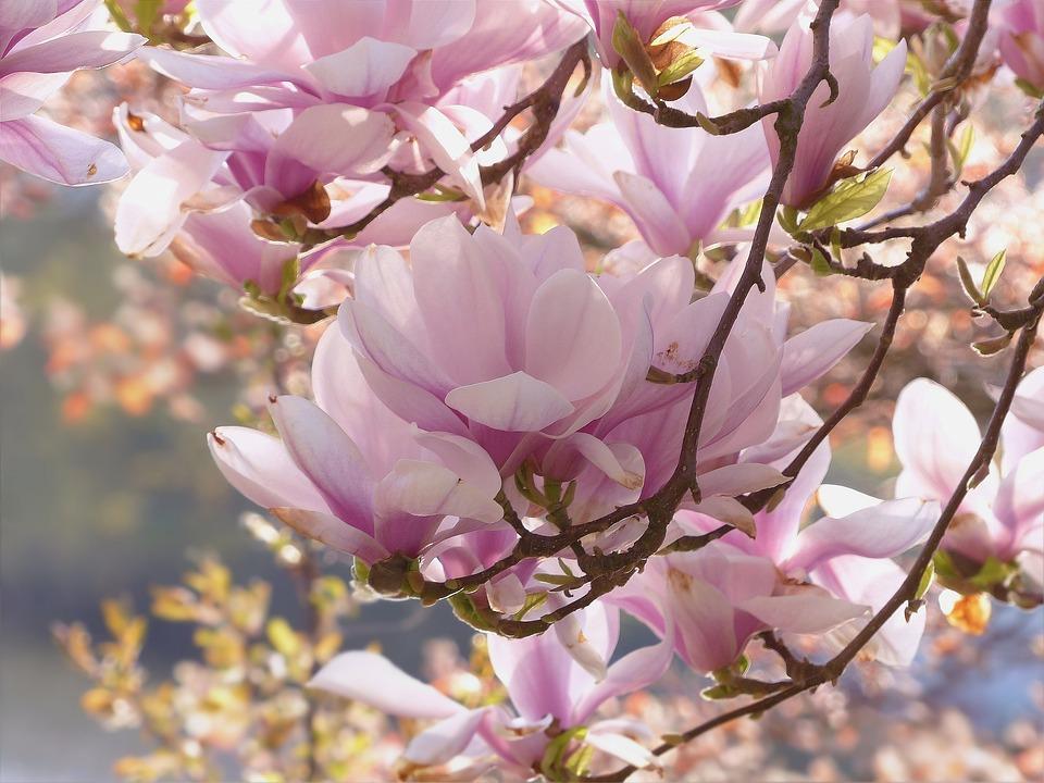 Tree, Magnolia, Pink, Flowers, Spring