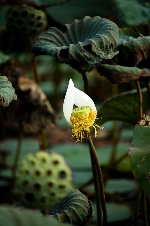 English Lotus, Petals, Flowers, Pistil, White