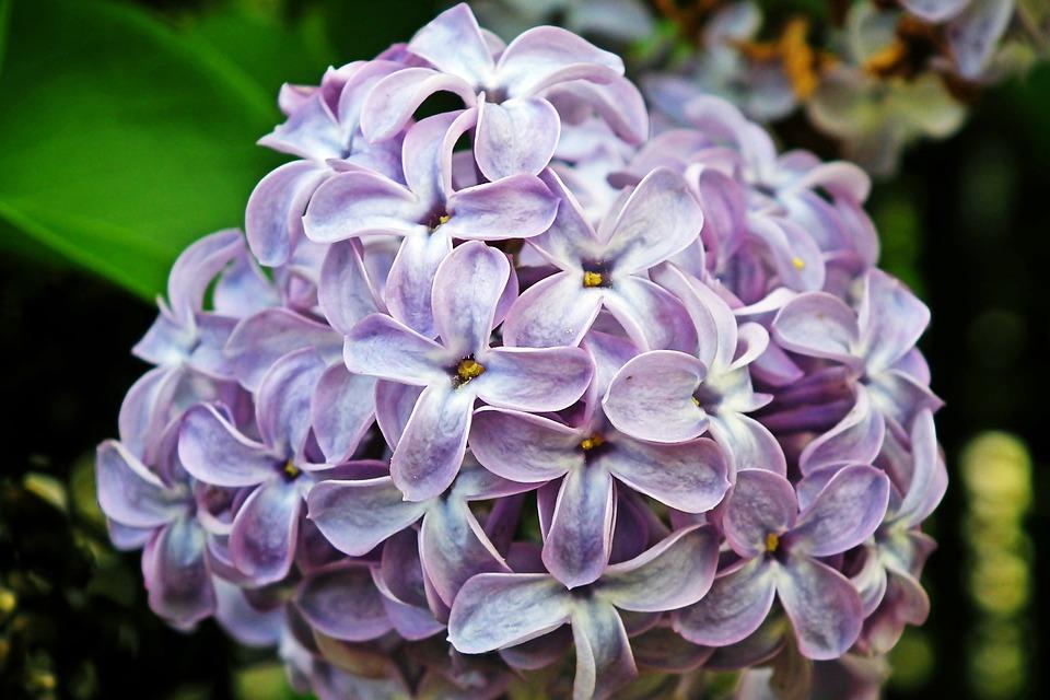 Lilac, Flowers, Plant, Petals, Bloom, Blossom, Flora