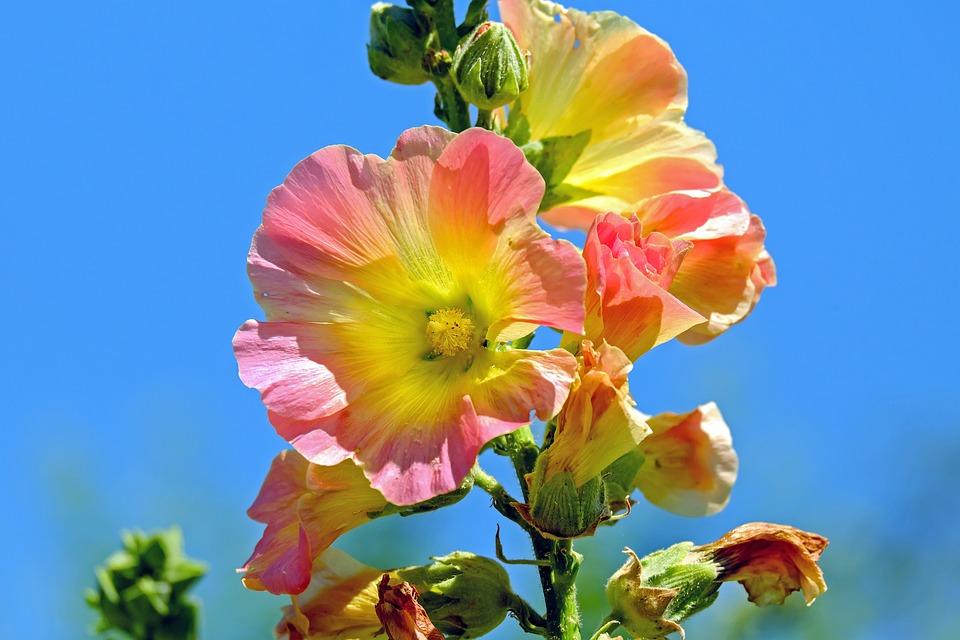 Hollyhock, Flowers, Plant, Buds, Petals, Bloom, Blossom