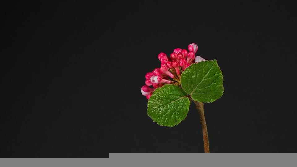 Lantana, Flowers, Buds, Plant, Wayfaring Tre, Bloom