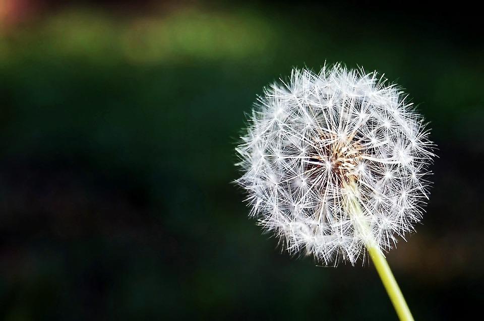 Dandelion, Flower, Flowers, Nature, Spring, Plant