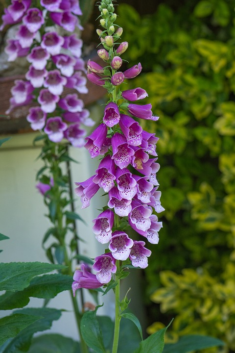 Thimble, Common Foxglove, Flower, Flowers, Plant