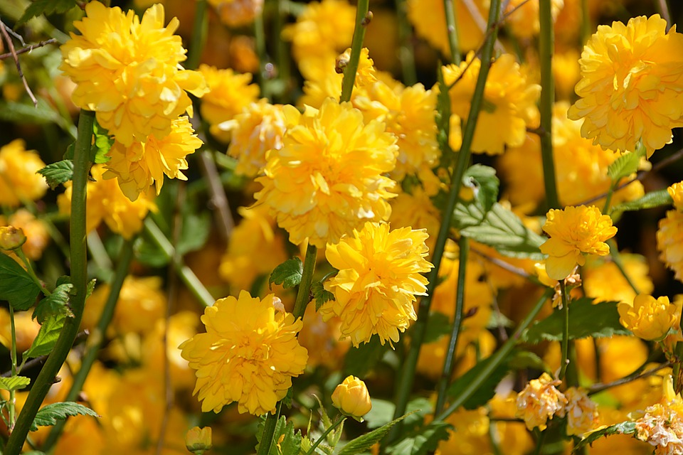 Forsythia, Flowers, Yellow, Shrubs, Nature, Plant