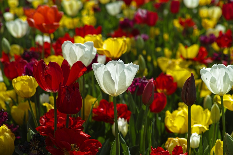 Tulips, Flowers, Plant, Colorful, Garden