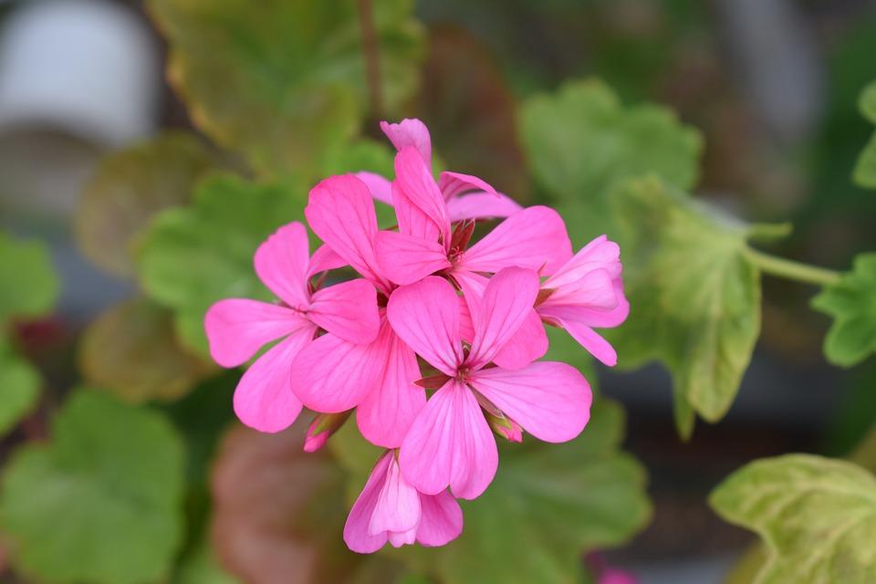 Geranium Pink Flowers Garden Summer Plant Plants