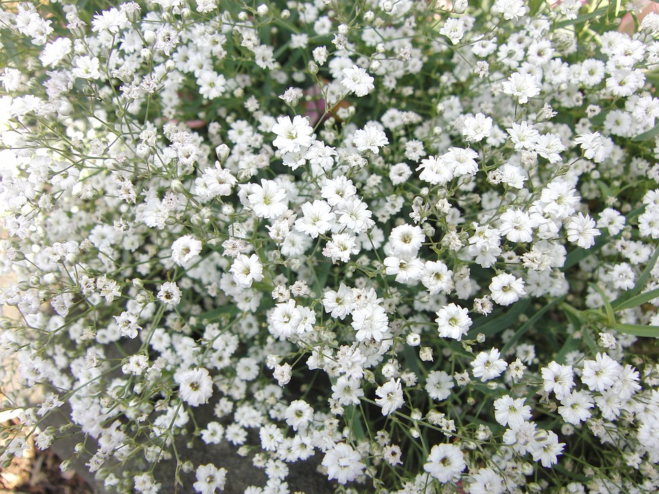 Free photo flowers plant gypsophila plant nature white max pixel gypsophila flowers plant nature plant white mightylinksfo