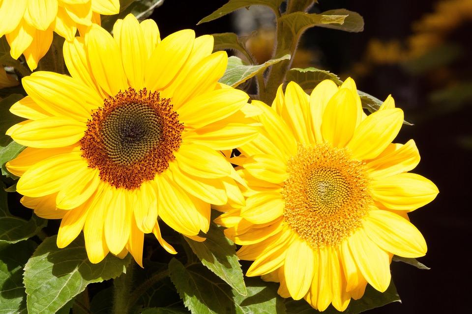 Sunflower, Helianthus Annuus, Flowers, Nature, Plant