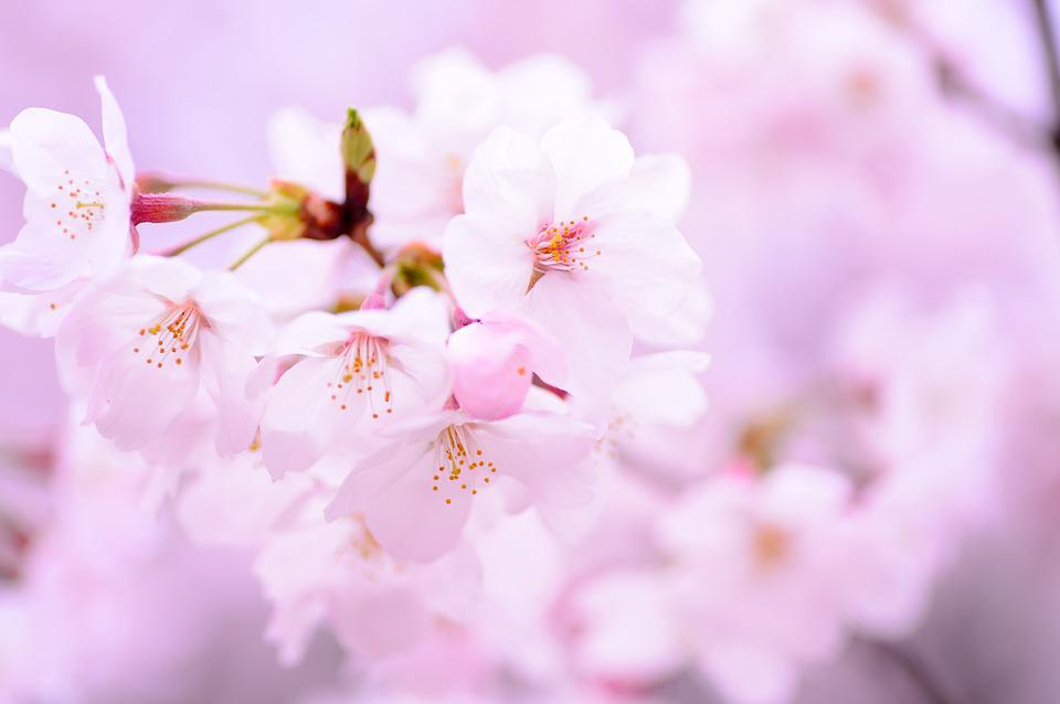 Free photo flowers plant japan spring natural cherry pink max pixel plant spring flowers japan pink natural cherry mightylinksfo