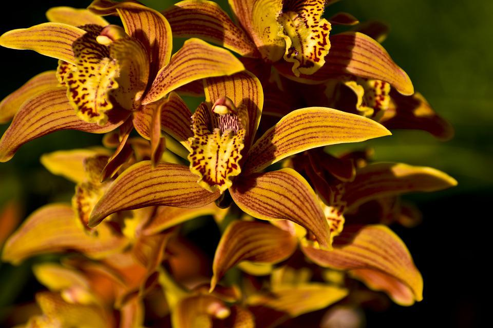 Orchids, Flowers, Plant, Cymbidium Orchid