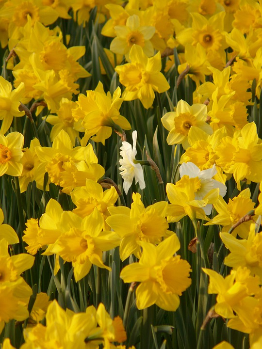 Daffodils, Osterglocken, Flower, Plant, Flowers, Spring