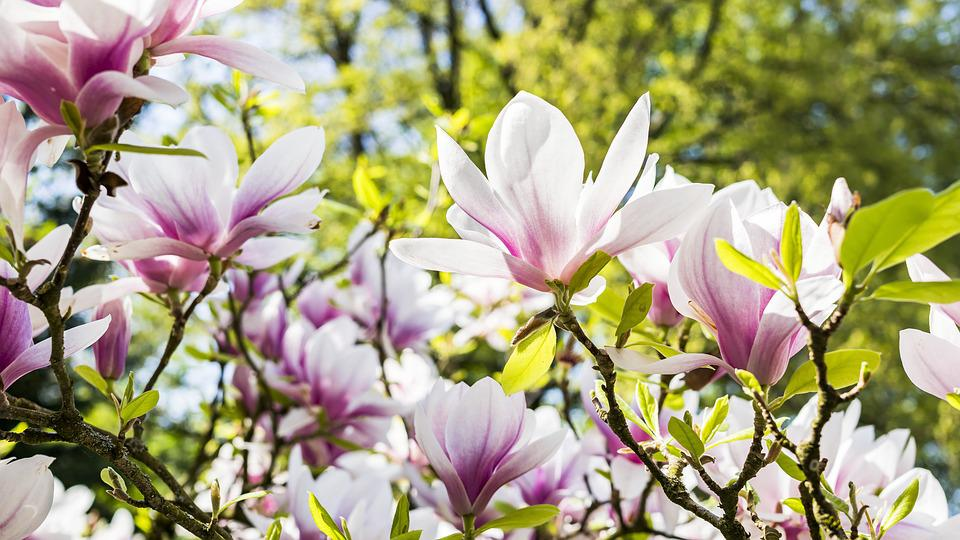 Flower, Nature, Plant, Garden, Magnolia, Flowers, Petal
