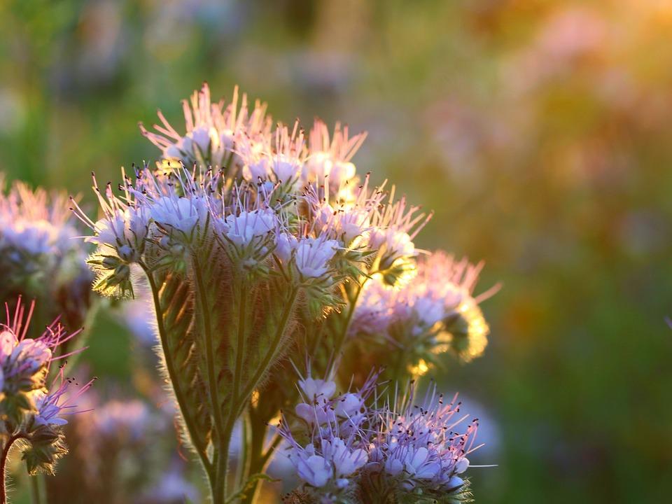 Phacelia, Flower, Plant, Summer, Garden, Flowers