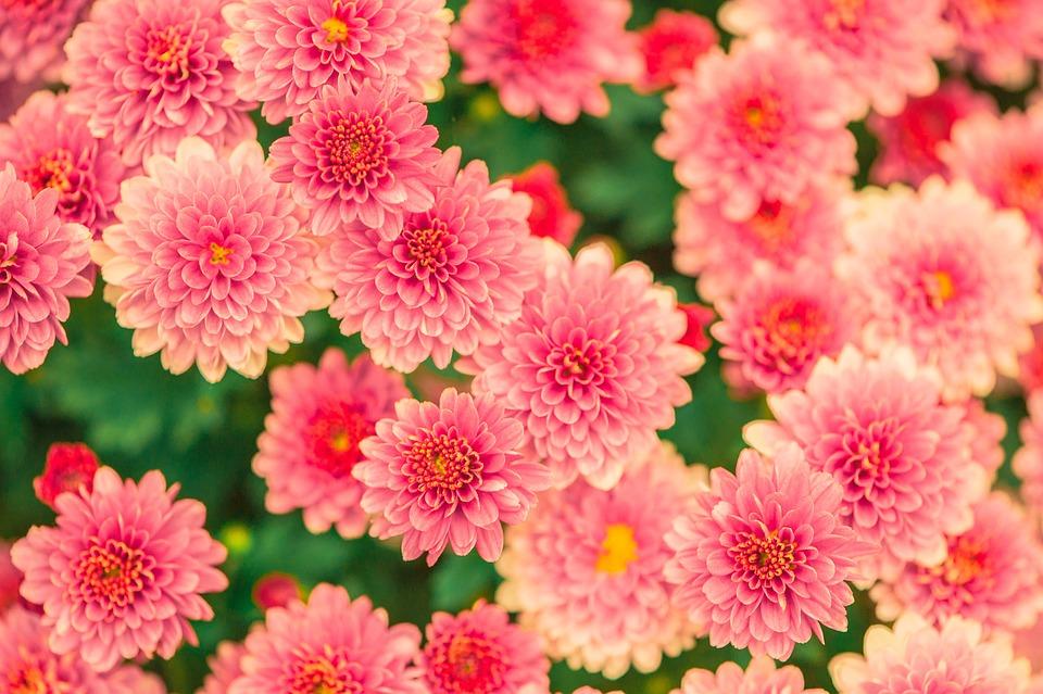 Flowers, Summer, Pink, Nature, Garden, Plant