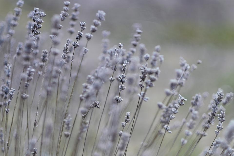 Lavender, Nature, Plant, Flowers, Purple, Garden, Herbs