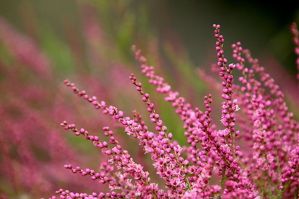 Heather, Heather Winter, Color Pink, Plants, Flowers