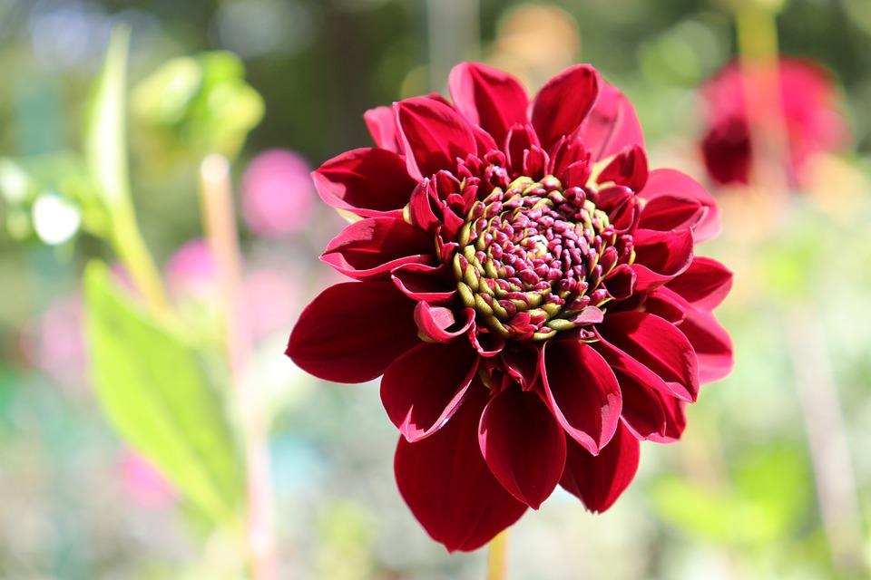 Dahlias, Dark Red Color, Flowers, Plants, Garden