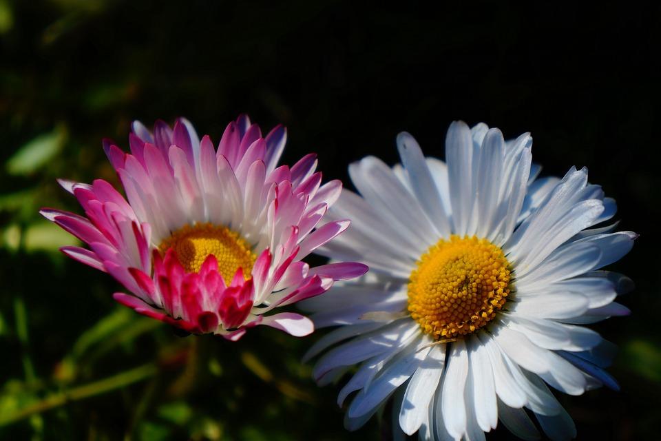 Flowers, Plants, Daisies