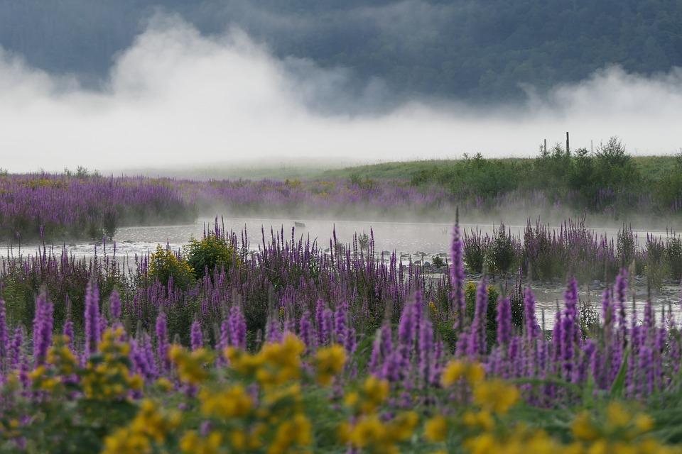 Lake, Field, Meadow, Flowers, Weeds, Plants, Fog