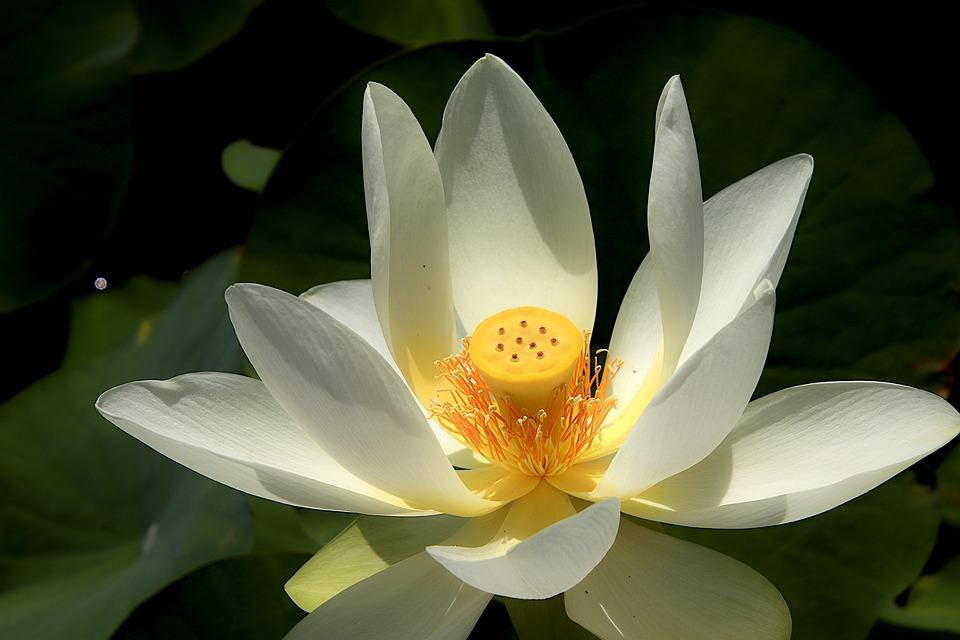Lotus, Flowers, Petals, Water Plant, Pond, Plants