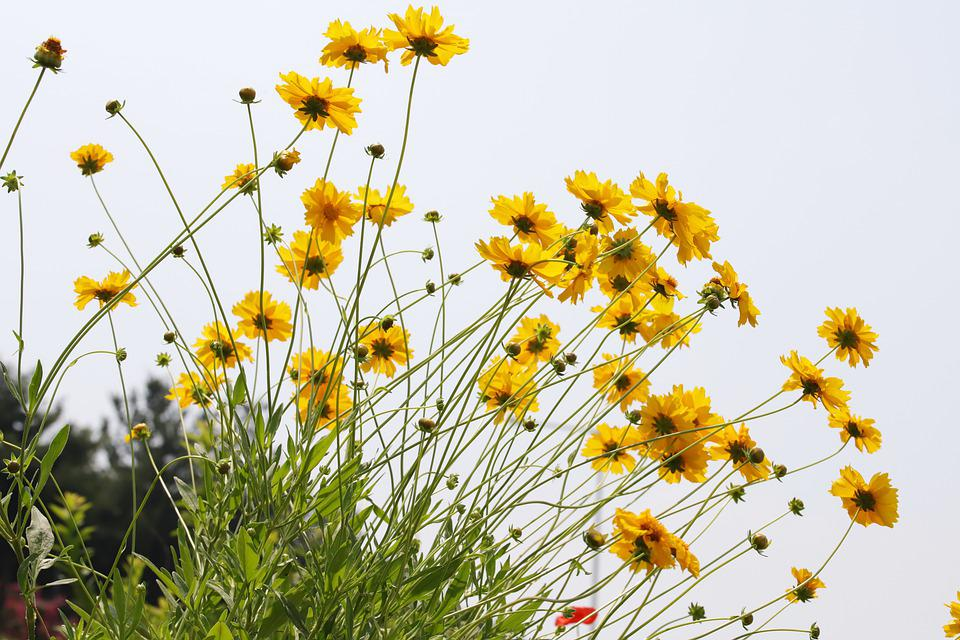 Flowers, Geumgyeguk, Yellow Flower, Nature, Plants