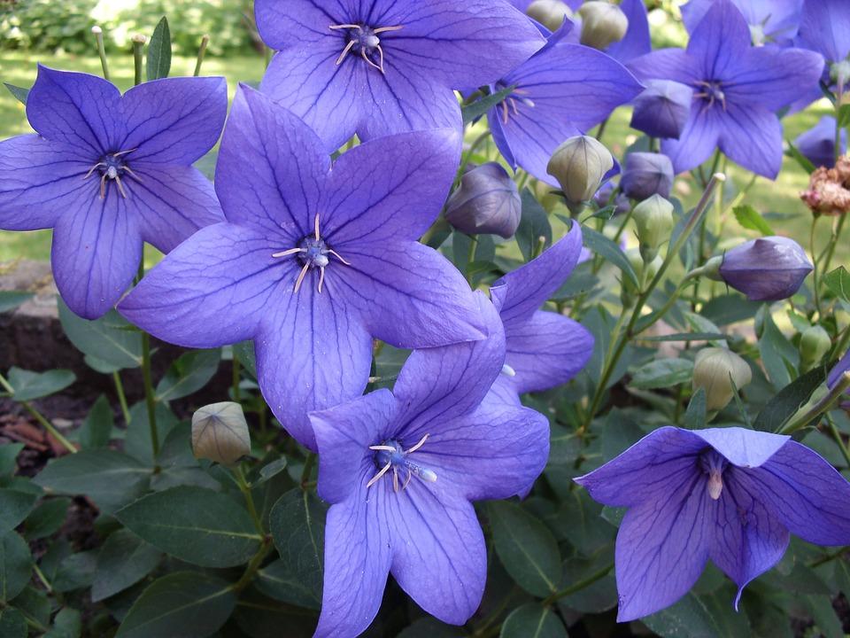 Flowers, Purple, Platycodon, Ballonklokje