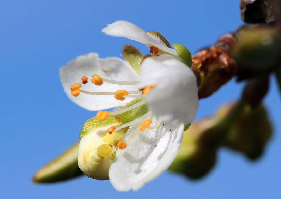 Bud, Flowers, Plum Blossoms, Prunus Domestica