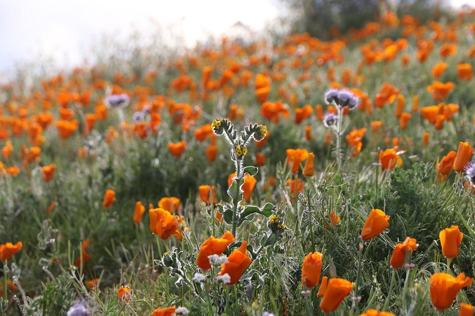 Flowers, Poppies, Poppy, Orange, Bloom
