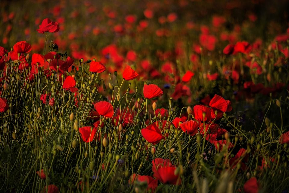 Free photo flowers poppies field red nature flower sunset max pixel field poppies sunset flowers red flower nature mightylinksfo