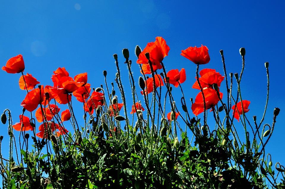 Flowers, Poppy Flower, Field