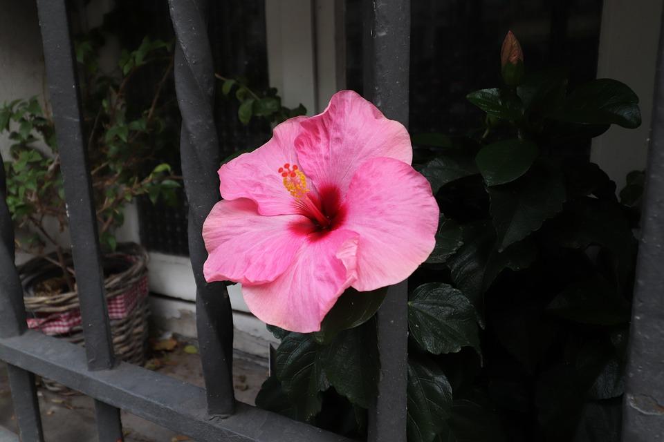 Hibiscus, Flowers, Plants, Potted Plants, Window, City